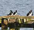 Birds on dock at San Carlos, Falkland Islands